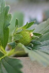 四季生りイチゴ