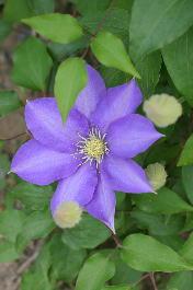 紫クレマチス