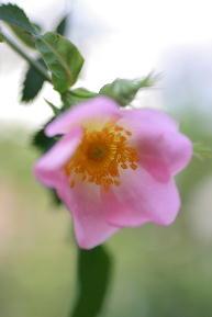 ヘンデル台木 原種バラ
