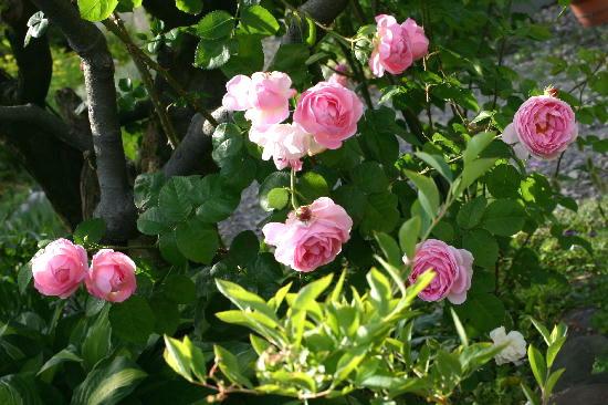 タイサンボクとバラ