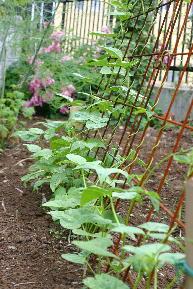 つるありインゲン豆