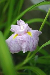 菖蒲 薄紫