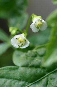フウセンカズラ花