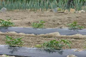 種子島紫 白皮種