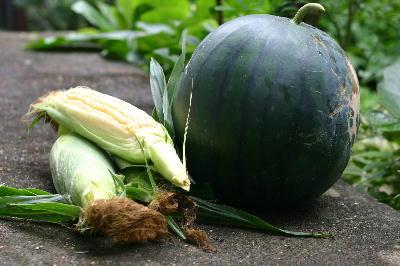 スイカ「タヒチ」トウモロコシ