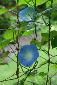 アーリーへブンリーブルー開花