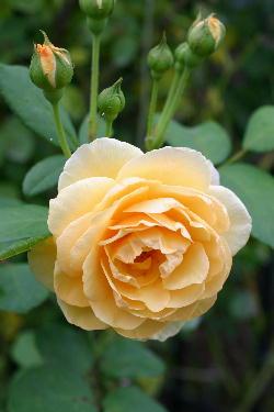 二番花 グラハムトーマス