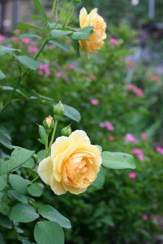 二番花 グラハムトーマス 2