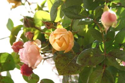 2007年最後のバラ