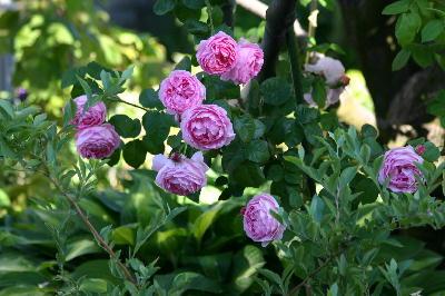 タイサンボク・つるバラ様子