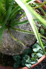 こぼれ種発芽。ガーデンシクラメン