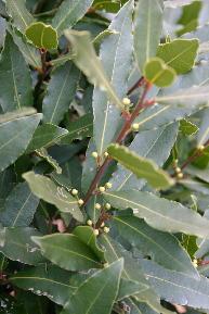月桂樹 2