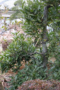 月桂樹 3