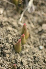 チューリップの芽吹き