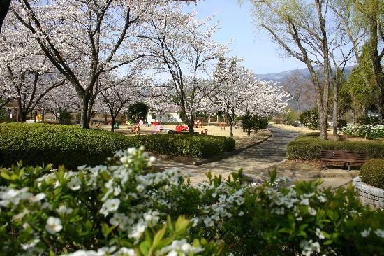 ウォーキングコースの桜