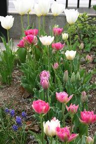 八重咲き種 チューリップ