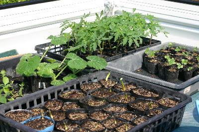 種まきから育てた野菜苗