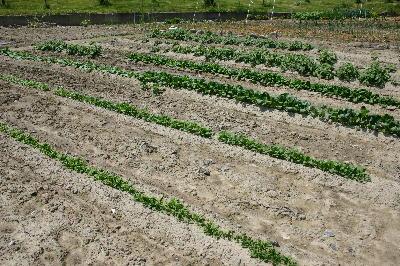 ジャガイモ 葉菜類
