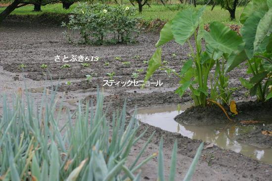 白菜、ブロッコリー定植。