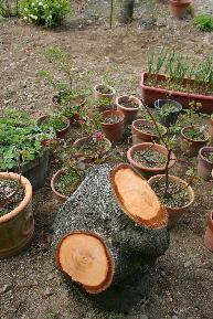 冬桃を伐採