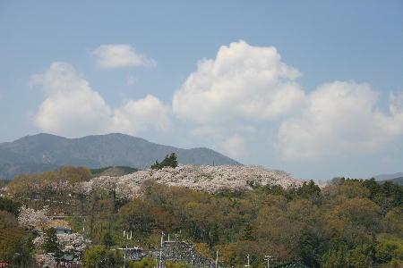 大法師公園 桜