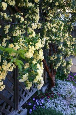 黄モッコウバラ6分咲き1
