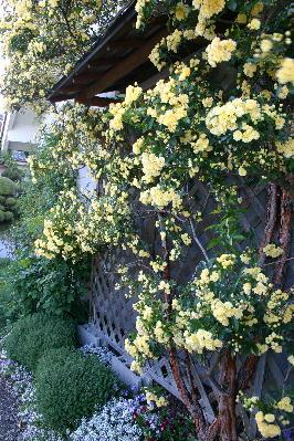 黄モッコウバラ6分咲き2
