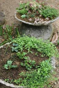 ガーデンシクラメン1