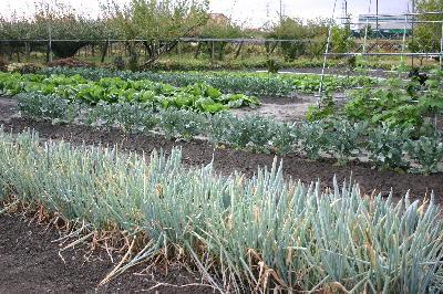 雨で潤った菜園