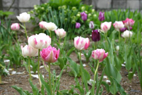 八重咲きチューリップ1