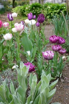 八重咲きチューリップ2