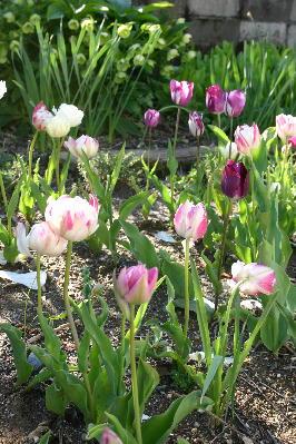 八重咲きチューリップ3