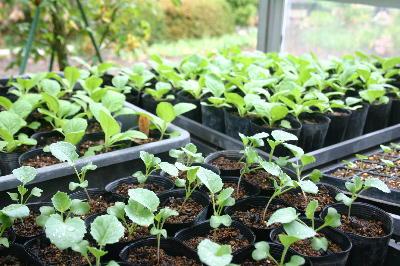 野菜の定植苗