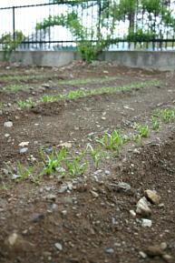 春まきほうれん草