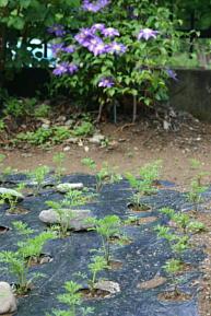 野菜と花の混植 2