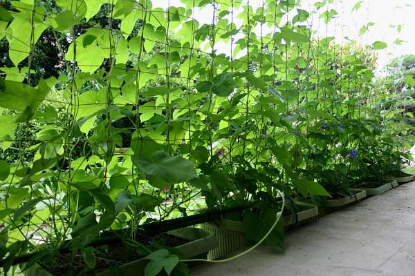 7月1日 緑のカーテン 2