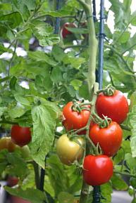 エスクック・トール 調理用トマト