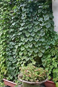 キワーノ 株姿 緑のカーテン