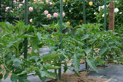 今日の菜園1