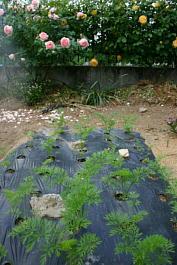 今日の菜園2