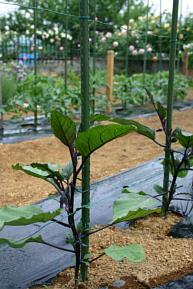 今日の菜園3