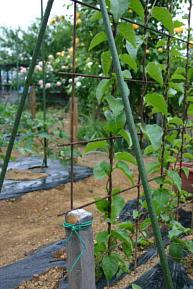 今日の菜園4