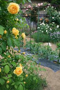 今日の菜園5