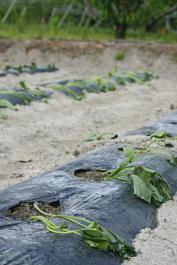 野菜畑2 サツマイモ苗の植え付け
