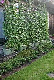 2012年 朝顔・緑のカーテン1