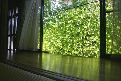 2012年 朝顔・緑のカーテン2