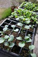 2012 秋野菜苗