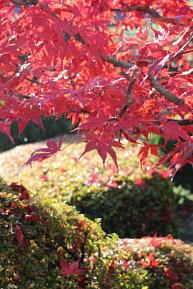 庭の紅葉1