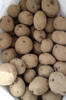 キタアカリ種イモ