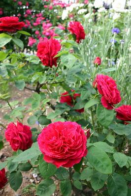 LD・ブレイスウエイト一番花